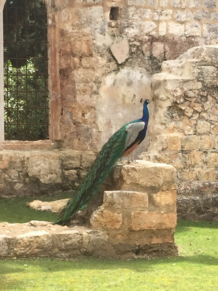 On the Island of Lokrum sits a beautiful peacock on top of a small piece of ruins in Dubrovnik. It has a long feathered green tail sweeping from its dark blue body