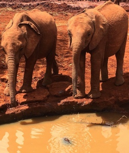 Elephants cool in off by drinking water at the Sheldrick Trust in Kenya