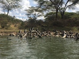 Birds gather on lake naivasha in Kenya