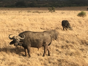 Water buffalo in the sunshine at Nairobi national park