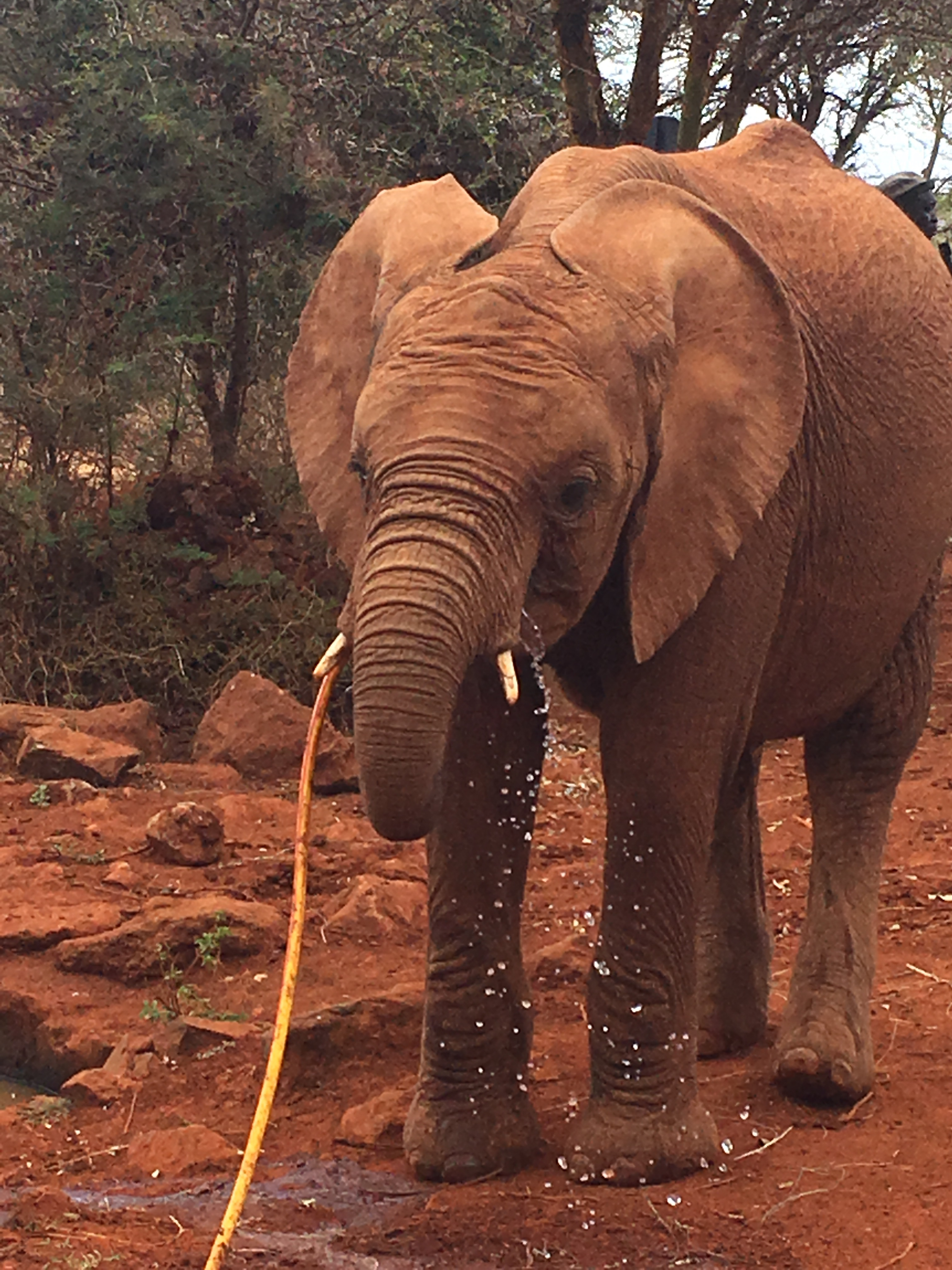 Elephant drinking water from the hose
