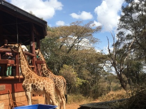 Giraffes standing to get food from people at the centre in Nairobi