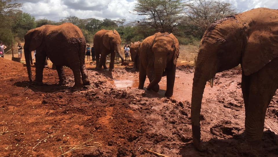 elephant baby at the nairobi kenya sanctuary at David Sheldrick Wildlife Trust